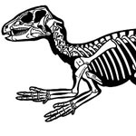 Heterodontosaurus,Dinosaurs, Dinosaur Expeditions, Dinolands, Prehistoric Life, Life, Walking with Dinosaurs, palaeontology, paleontology, fossils, fossil digs, dinodigs, dinosaur digs, ancient life, Mesozoic, Extinction, dinokids, Dinoman, Archaeology, Archeology,Geological Time Line, fossilised bones, skeletons, prehistoric