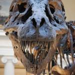 Sue, Dinosaurs, Dinosaur Expeditions, Dinolands, Prehistoric Life, Life, Walking with Dinosaurs, palaeontology, paleontology, fossils, fossil digs, dinodigs, dinosaur digs, ancient life, Mesozoic, Extinction, dinokids, Dinoman, Archaeology, Archeology,Geological Time Line, fossilised bones, skeletons, prehistoric, fossil bones, bones, old bones, ancient bones, Dinosaur Emporium, Dinosaurs for sale, Dinosaur Shop, Dinosaur Store, Marmaduke the T Rex, Gerald Allan Davie, The DinoZone, DinoZone, Dinoman