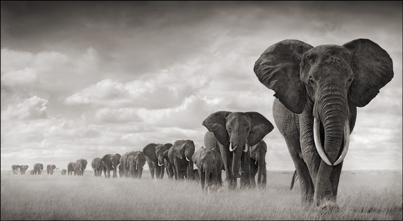 African elephants.  Image from the African Elephant Fund